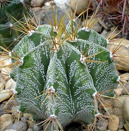 Astrophytum ornatum - 20 semillas