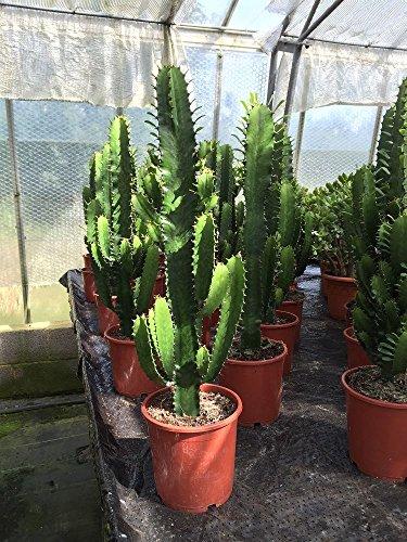 Euphorbia planta de Cactus Acruensis en un crisol de 17cm. Aproximadamente 70 cm de...