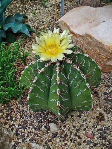 Astrophytum ornatum - Monks Hood Cactus - 20 Seeds
