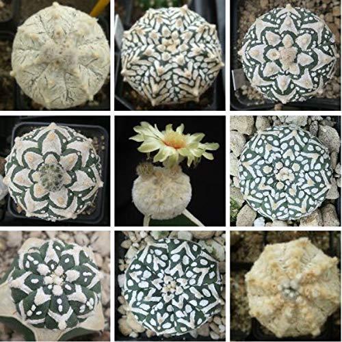 Portal Cool Semillas planta suculenta mezcla real 20Pcs Cactus Astrophytum Care Free...