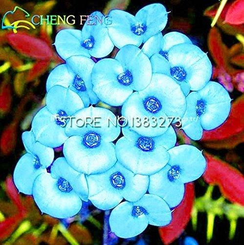 SwansGreen Deep Blue : 2016 Hot Sale 50pcs Multicolor Euphorbia Milii Seeds Rare New...