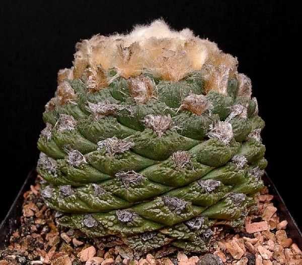 ariocarpo retusus