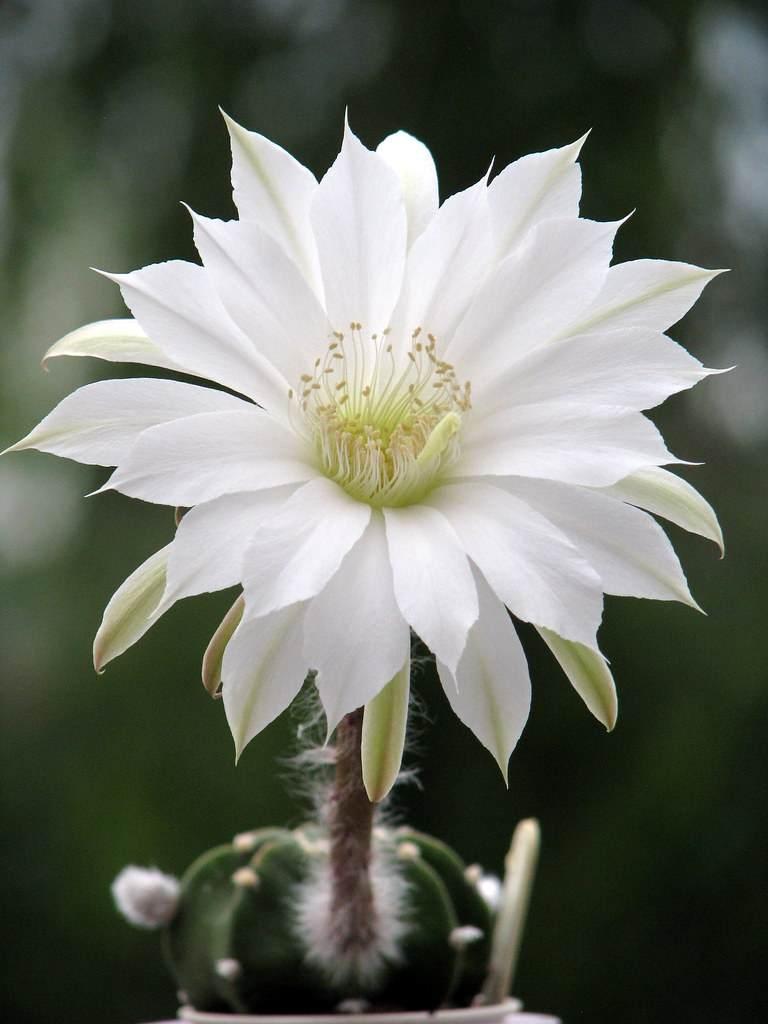 cactus lirio de pascua