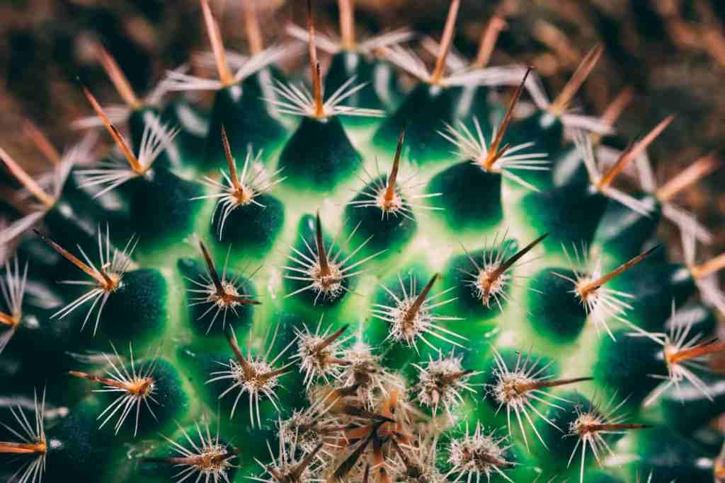comprar Ferocactus peninsulae