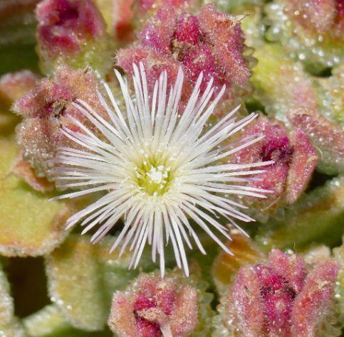 anemona de tierra Mesembryanthemum crystallinum