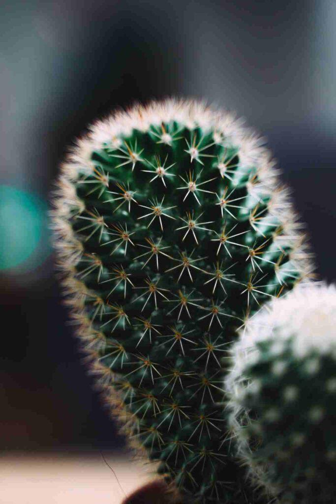 comprar mini cactus