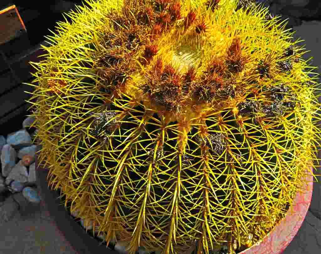 comprar cactus barril