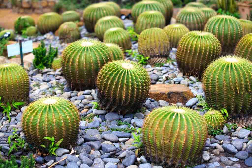 cactus para exterior