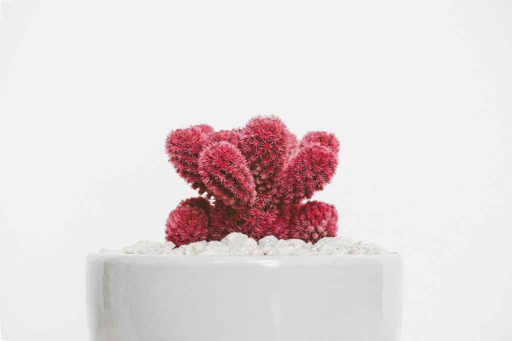 comprar cactus rojo