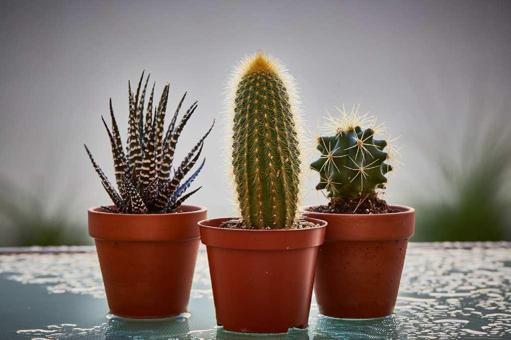 transplantar cactus