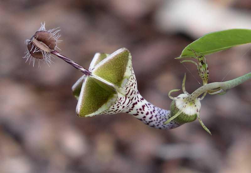 flor de parasol