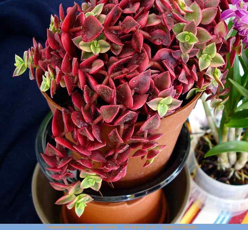 crasula pelcida variegata