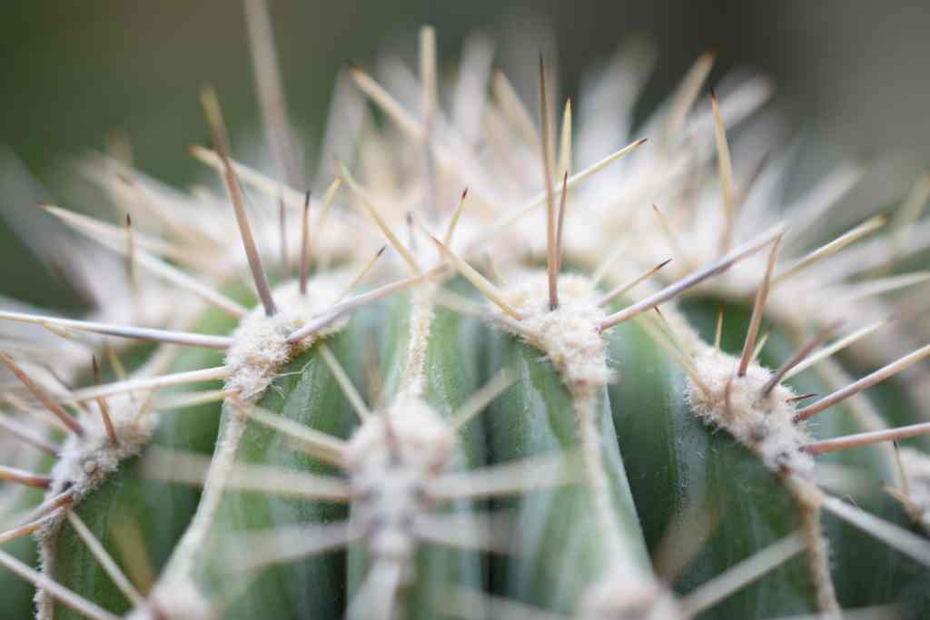 espinas cactaceae