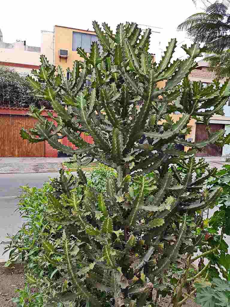 euforbia lacta planta cresta