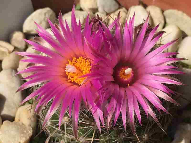 cactus escovaria vivipara