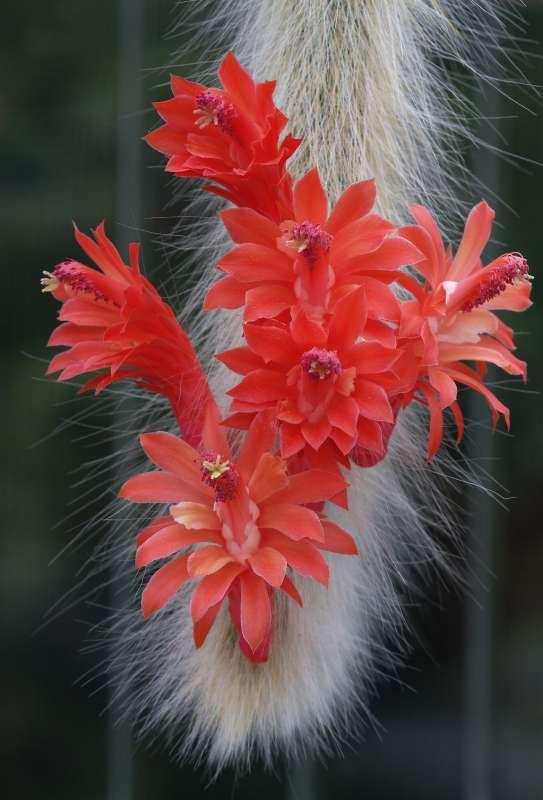 flores suculenta cola de mono