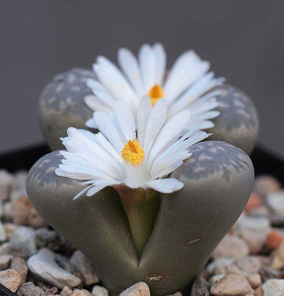 Planta de piedra