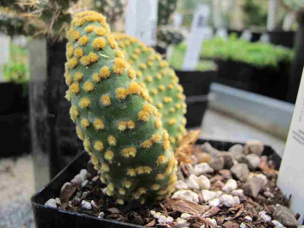 cactus opuntia microdasys