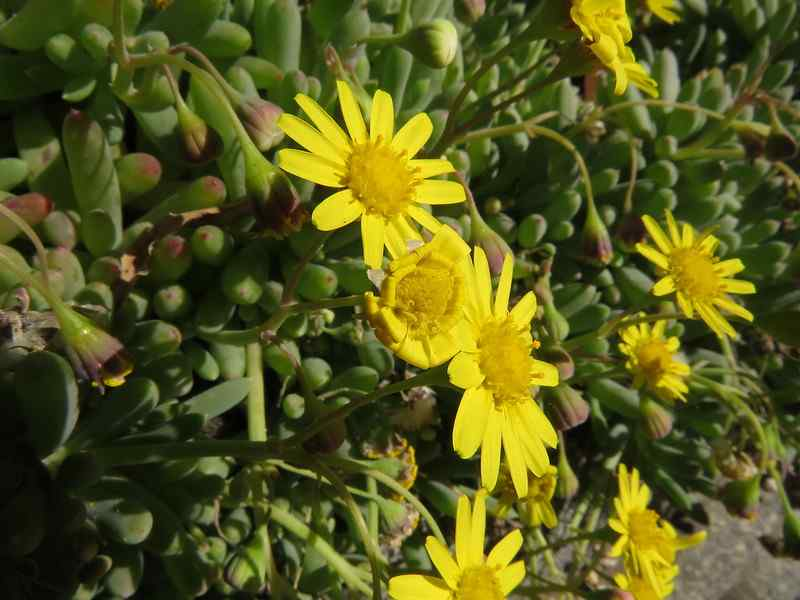 flor Othonna Capensis