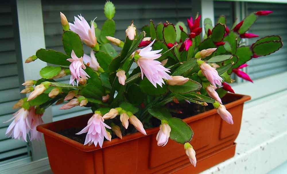 cactus pluma de santa teresa