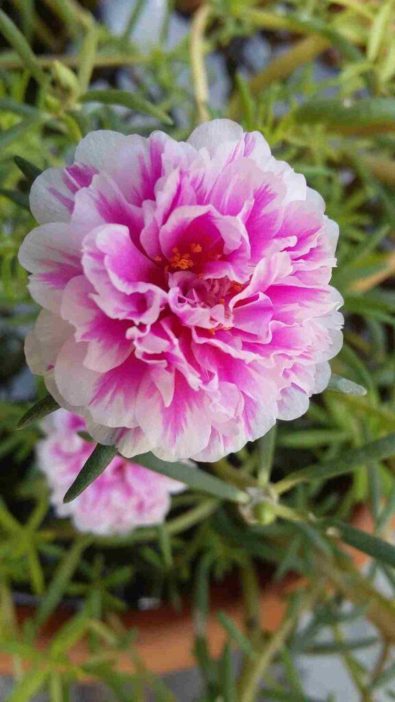 portulaca grande flora