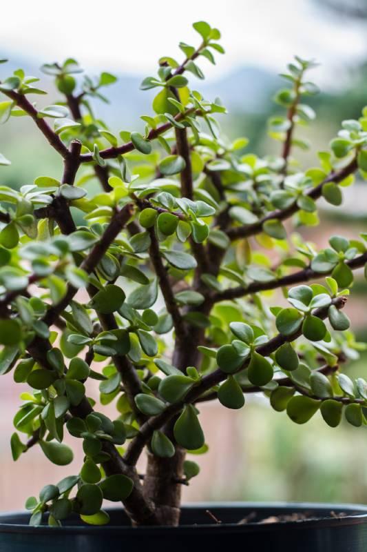 bonsay de jade