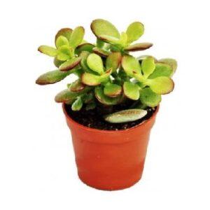 comprar arbol de jade online