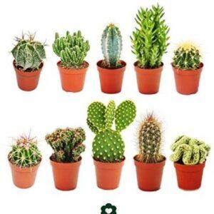 cactus pequeños comprar