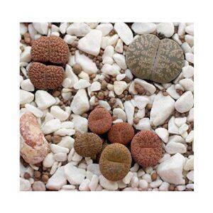 venta cactus piedra