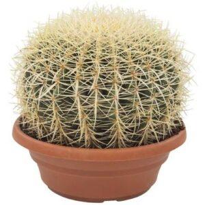 comprar cactus bola de oro