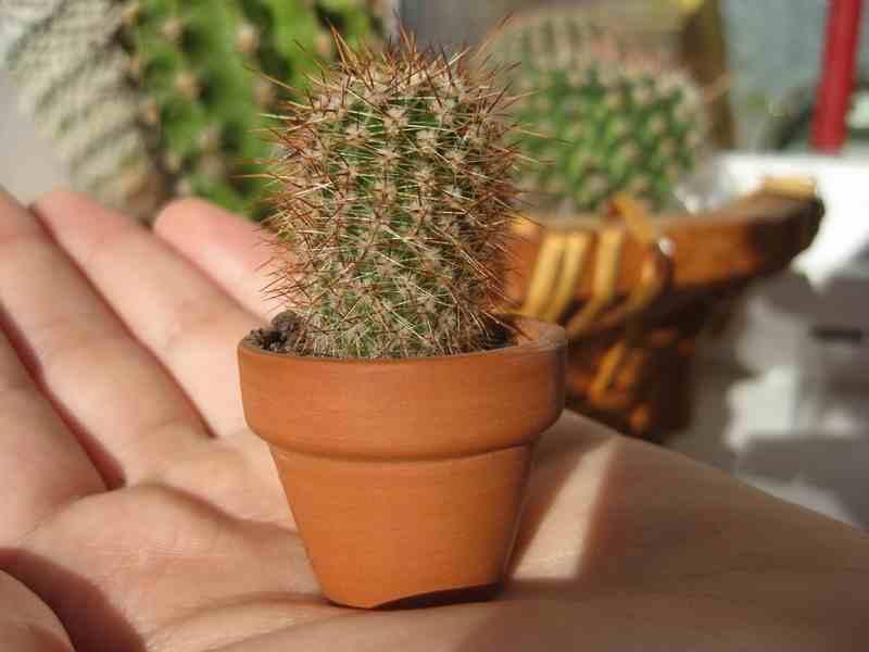 transplantar cactus pequeños