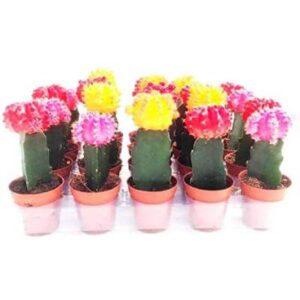 mini cactus injertados al por mayor