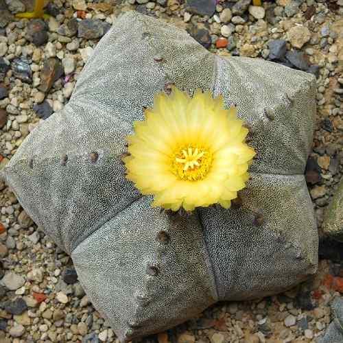 cactus sin espinas con flor