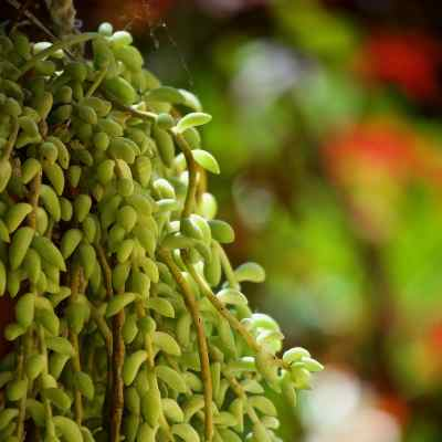 cactus para colgar