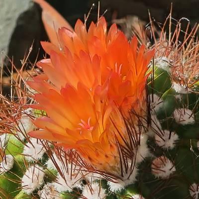 imagenes de cactus con flores