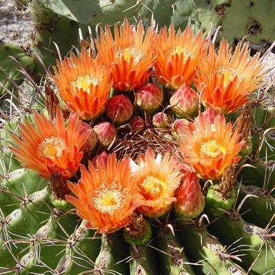 tipos de cactus que florecen