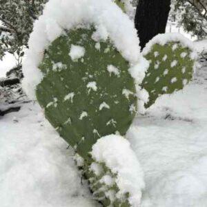 opuntia resistente al frio