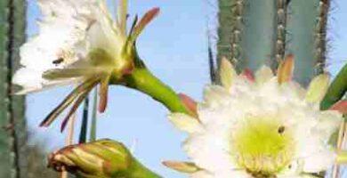 imagenes cactus san pedro
