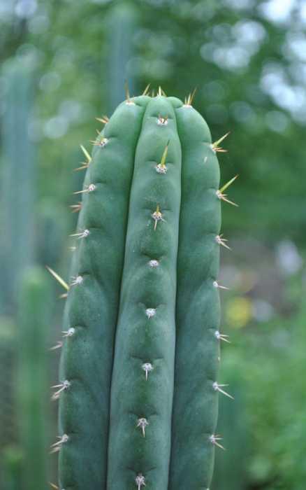 cactus san pedro venta