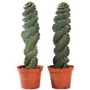 cactus espiral comprar