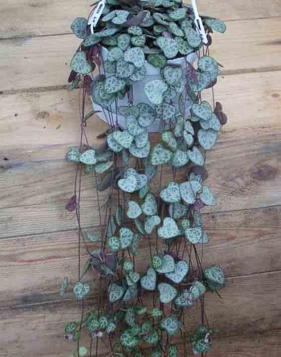 plantas crasas colgantes con flor