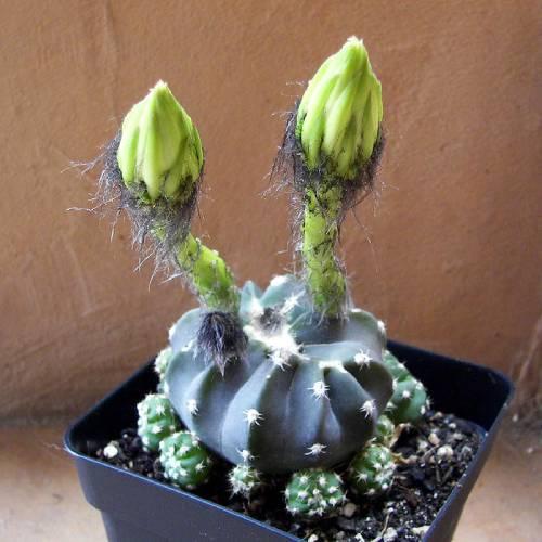 cactus sin puas