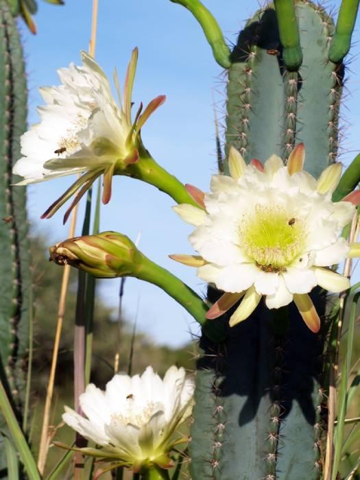 cactus san pedro cuidados