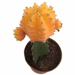 precio cactus injertado