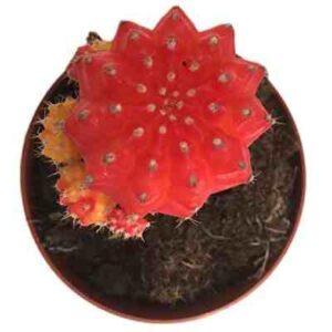 cactus injertado rojo comprar
