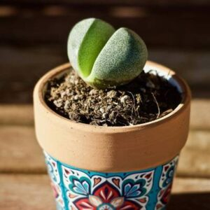 cactus piedra comprar