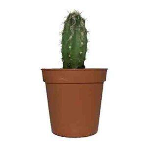 comprar Cactus Oreocereus Celsianus