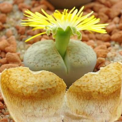 comprar plantas suculentas online