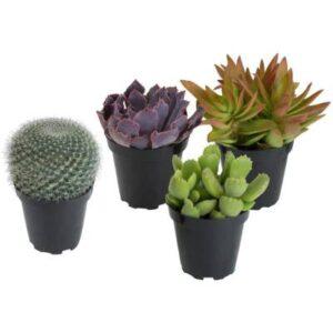 cactus y crasas baratas