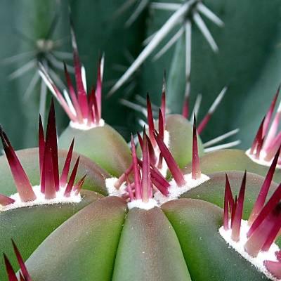 pincharse con un cactus
